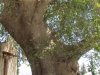 Монастырь Вронтиси. Второе гигантское дерево